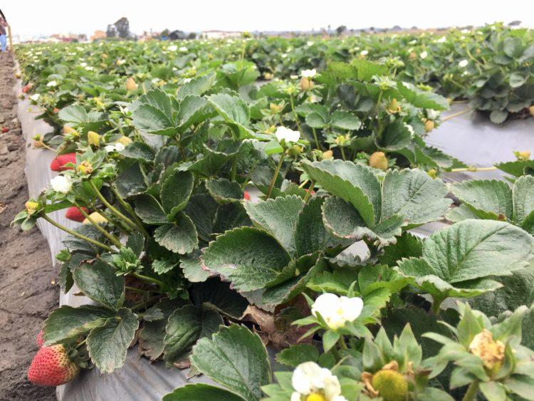 Monterey strawberry farm